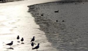 seagulls sil