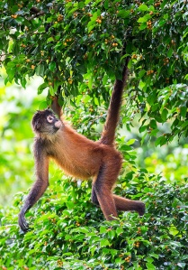 spider-monkey-hanging-from-tree-osa-peninsula-costa-rica